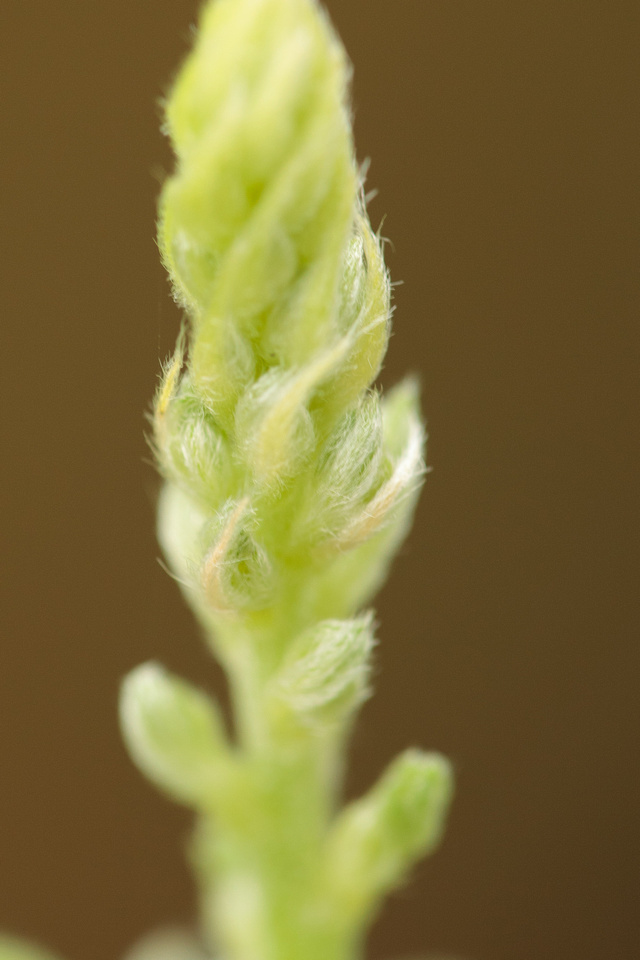 Closeup of buds