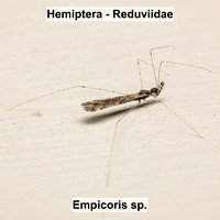 Hemiptera - Reduviidae - Empicoris sp.
