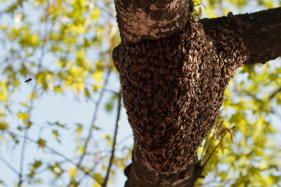 Crestview bee swarm