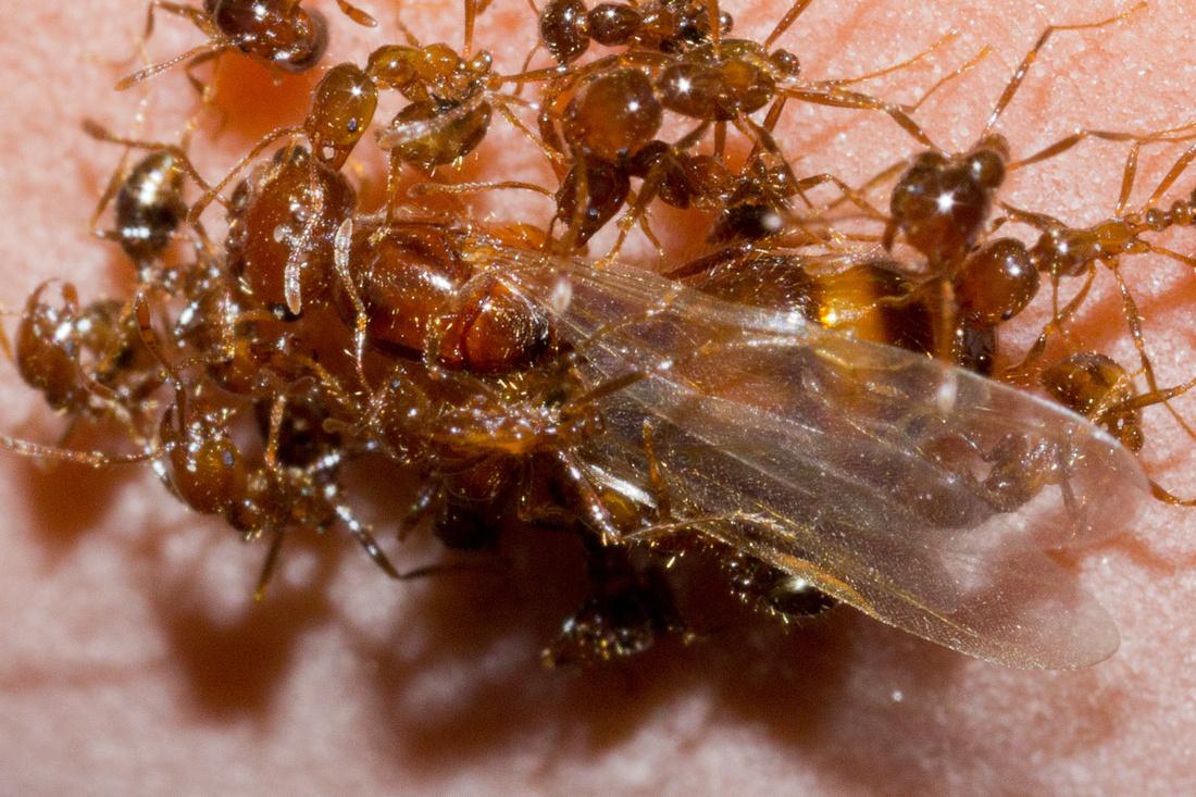 Queen Solenopsis geminata and workers