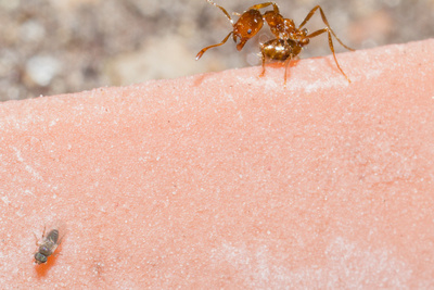 Phorid fly and worker fire ant
