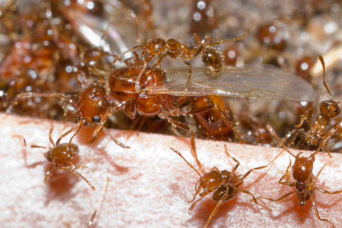 Queen Solenopsis geminata surrounded by workers in a defensive posture