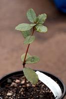 Quercus guyavifolia