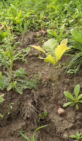 Bur oak seedling in eroded soil